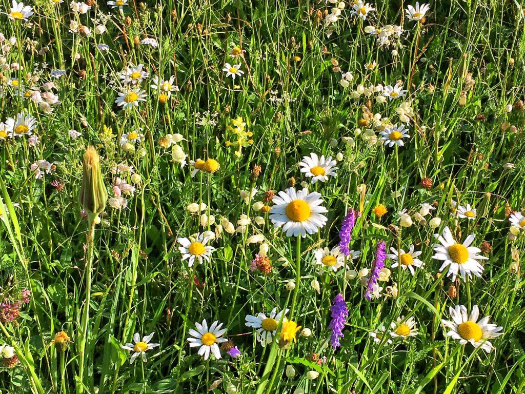 Bergwiese im Blumengewand