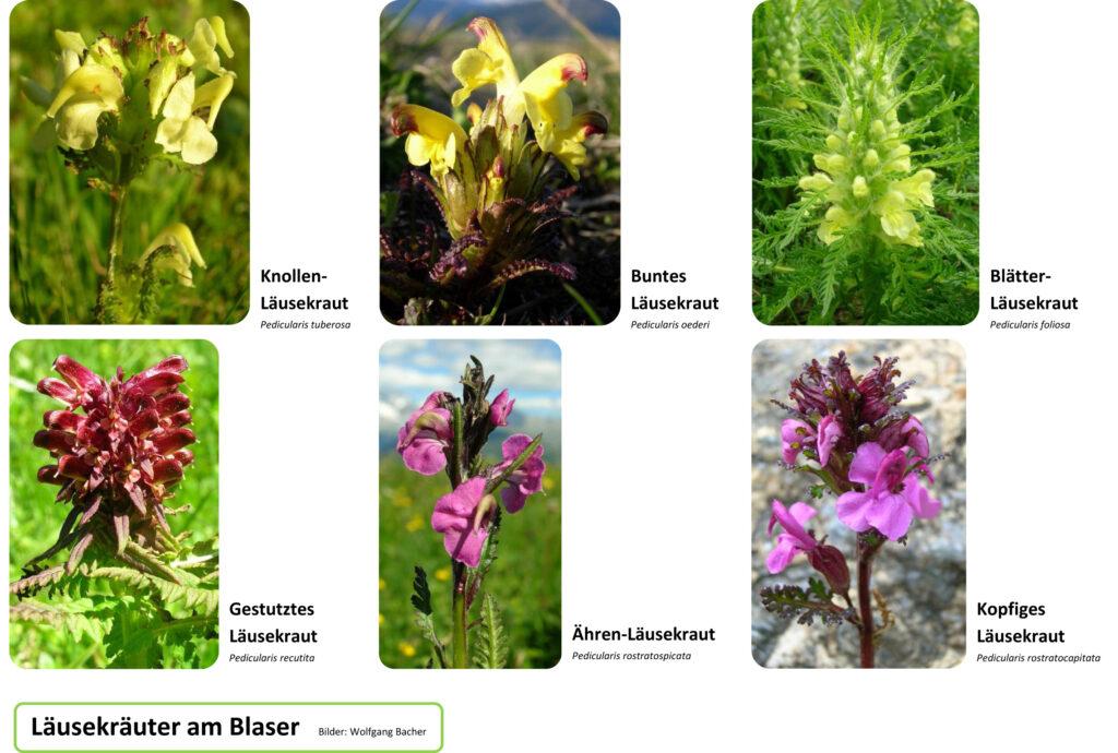Blumen am Blaser
