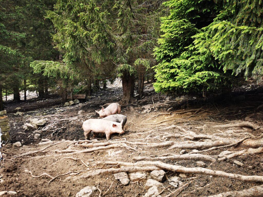 Almschweine