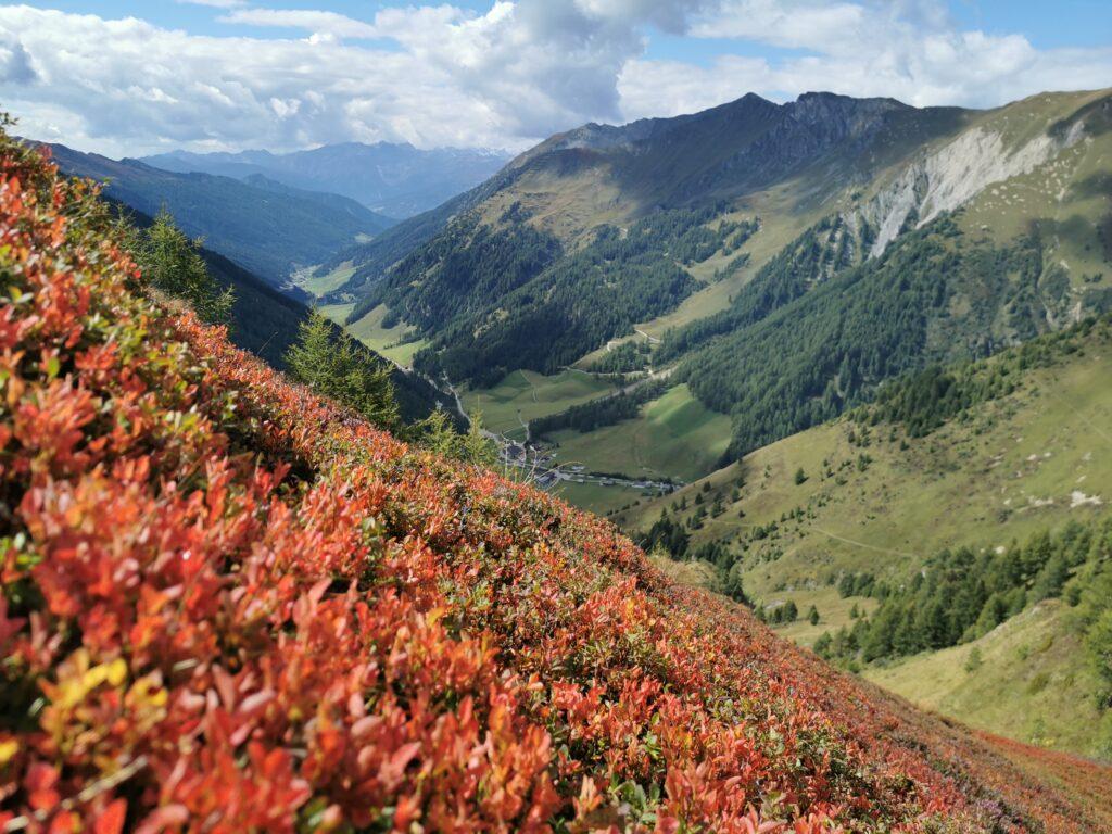 Rote Blätter der Schwarzbeeren